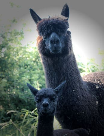 Alpaca mum and her cria