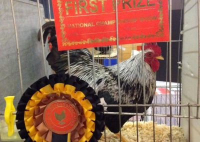 Our Barnevelder cockerel at the National Poultry Show 2015