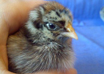 Barnevelder Chick
